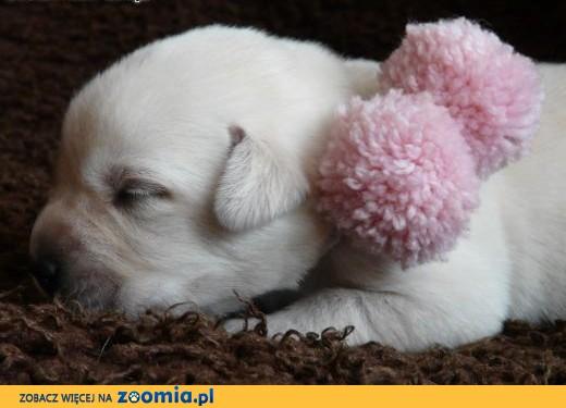 Labrador Retriever biszkoptowe szczenięta ZKwP, FCI,  śląskie Myszków
