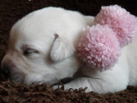 Labrador Retriever biszkoptowe szczenięta ZKwP  FCI   śląskie Myszków