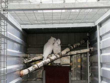 Kakadu Salomonskie   Rostarzewo