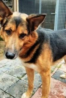 BRIX - piękny  mądry psiak w typie owczarka niemieckiego szuka domu