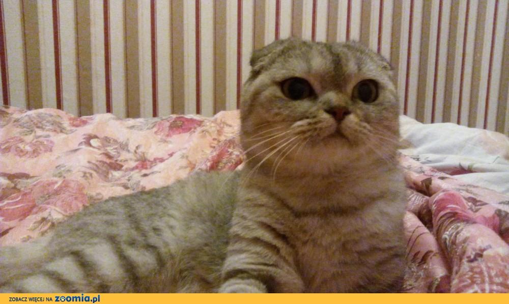 Kot Szkocki Ogłoszenia Z Hodowli Koty Szkockie Zoomiapl Pl 1