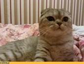 Hodowla kotów Szkocki Fold