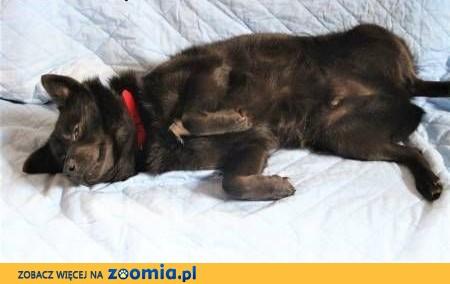 FELUŚ - nieduży, piękny psiak w typie szpica, szuka domu!,  mazowieckie Warszawa
