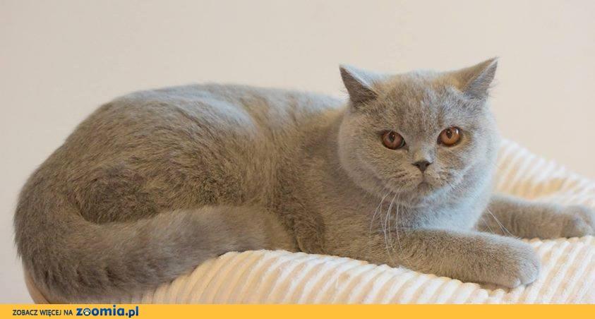 Kot Rasowy Ogłoszenia Z Hodowli Sprzedam Koty Zoomiapl Pl 4