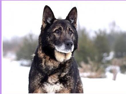 22 kg  stróżujący owczarkowaty  kontaktowy pies PIMPO_Adopcja