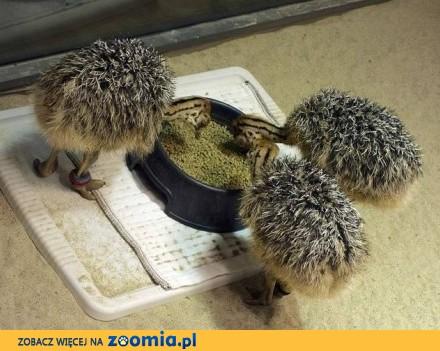 Owocowe pisklęta strusia i jaja