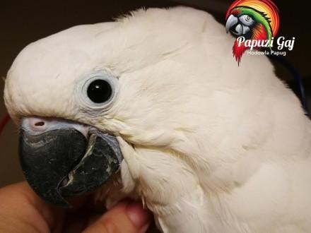 Kakadu młoda  bardzo oswojona