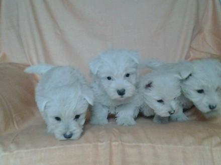 West Highland White Terrier szczenięta z metryką