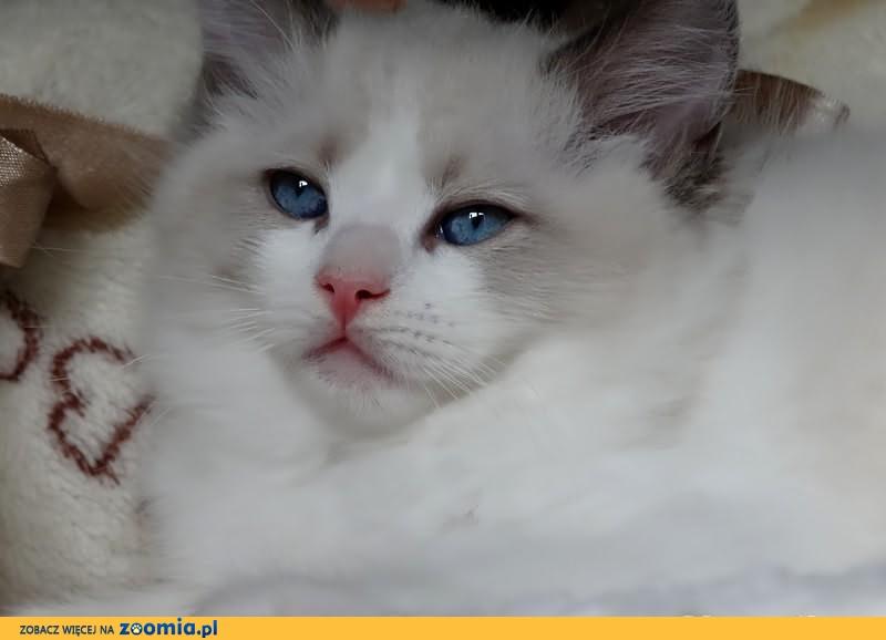 Ragdoll piekny kocurek po wybitnych rodzicach z hodowli Star Pol-Cat
