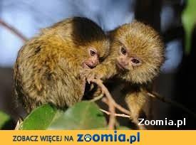 małpa pigmejka z dokumentami wrocław
