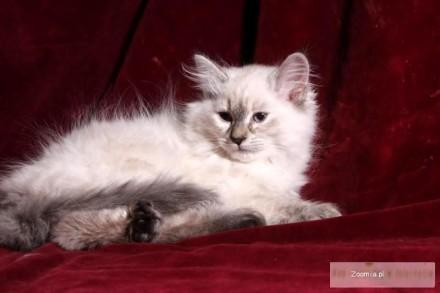 Neva masquerade - kotek dla alergików