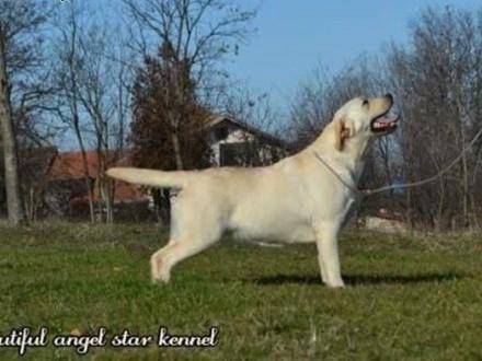 Labrador retriever   Labrador retriever cała Polska