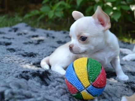Chihuahua piesk