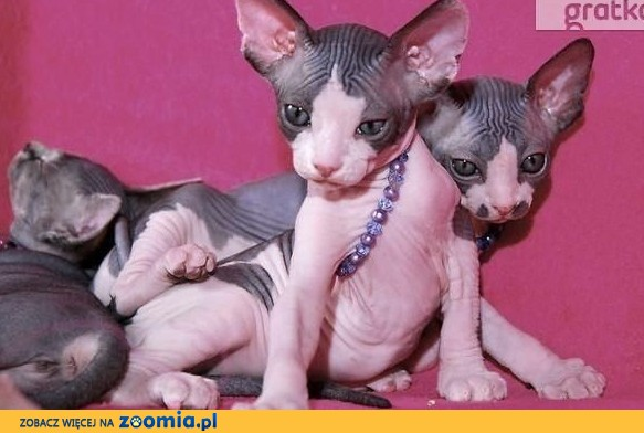 Kociaki Sphynx Sfinks * Wyjątkowe przekochane miziaste ! pso-koty