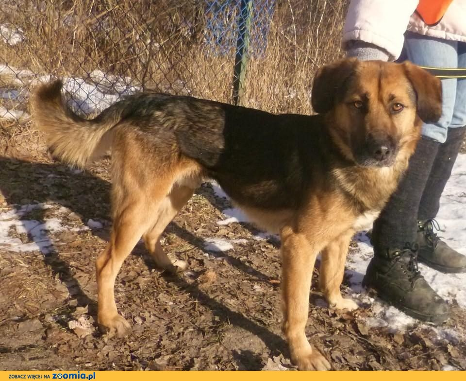 Lhasa apso sprzedam psa dog breeds picture