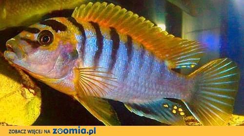 rybki pyszczaki Labidochromis Hongi