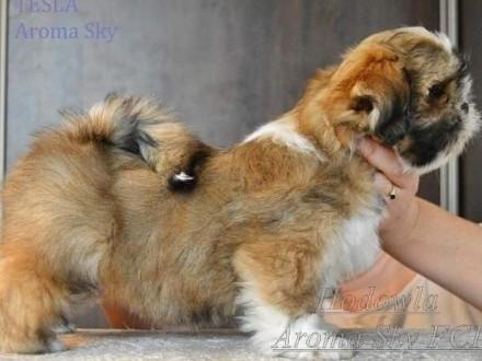 Szczenięta lhasa apso