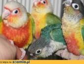 Papugi ręcznie karmione,  mazowieckie Warszawa