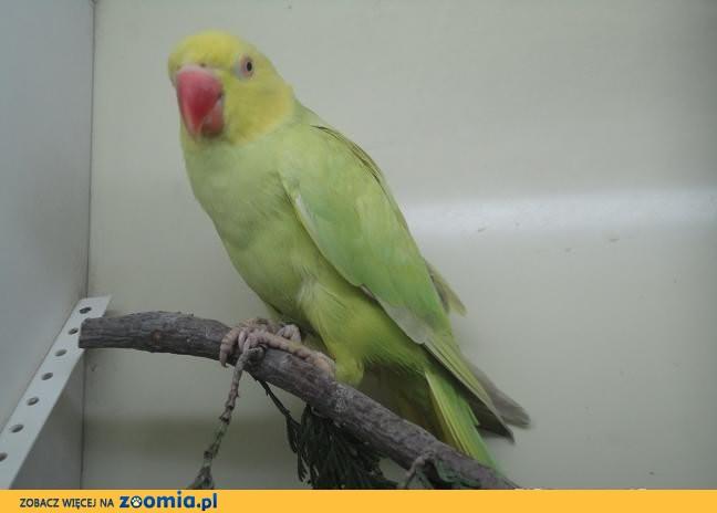 Papuga Aleksandretta obrożna laceving.