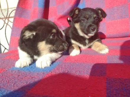 Jack Russell terrier mieszany oddam za darmo