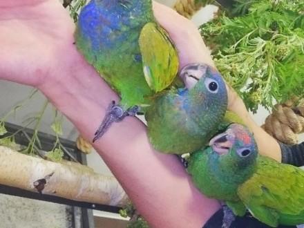 piony niebieskogłowe ręcznie karmione hodowla papug