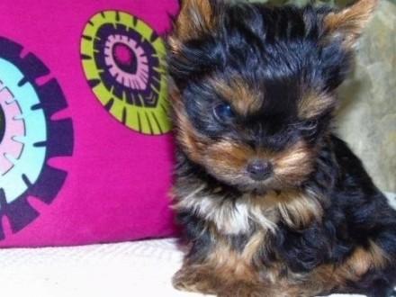 Piękne malutkie szczeniaki York Yorkshire Terrier