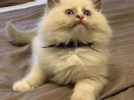 Słodkie kocięta Ragdoll z małej chodowli Odchowane  kochające i wierne