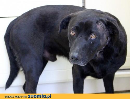 Czarny psiak szuka kochającego, cierpliwego domu_