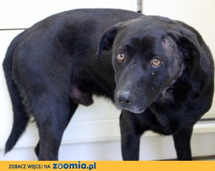 Czarny psiak szuka kochającego  cierpliwego domu_