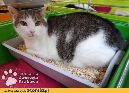 Zefirek kocurek do kochania,  małopolskie Kraków
