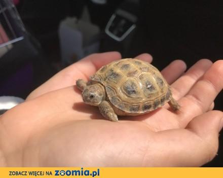 Żółw stepowy - 4 miesięczny