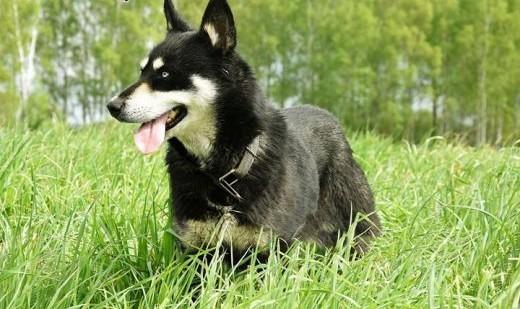Demeter w typie Husky czeka na dom.son.przyj,  warmińsko-mazurskie Elbląg