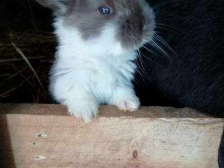 Sprzedam króliki rasy baran francuski