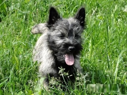 Cairn terrier-ZKwP-FCI