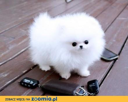 Pomeranian Psy Za Darmo