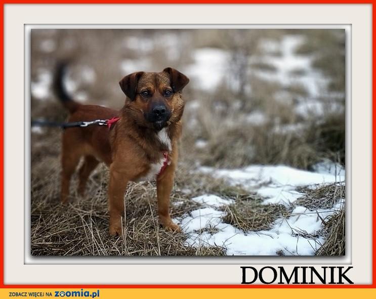 Młody 1,5 roczny,10 kg,łagodny,towarzyski,szczepiony piesek DOMINIK_Adopcja_