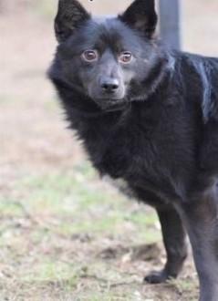 FELUŚ - nieduży  piękny psiak w typie szpica  szuka domu!   małopolskie Kraków