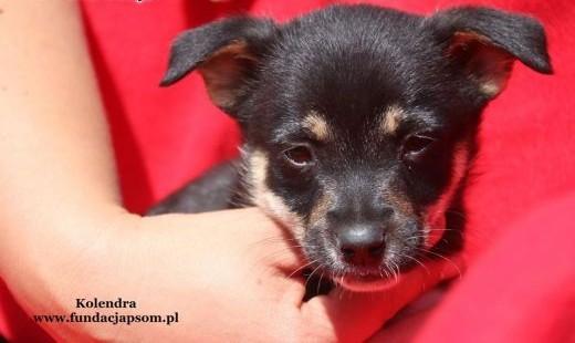 Kolendra - szczeniak szuka domu   mazowieckie Nowy Dwór Mazowiecki
