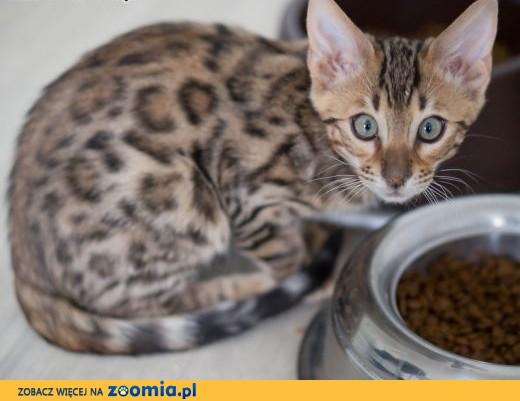 Kot bengalski - lampart w domu,  wielkopolskie Konin