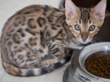 Kot bengalski - lart w domu   wielkopolskie Konin