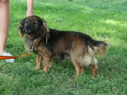 Uroczy  nakolankowy Chester  cudowna psinka szuka domu!