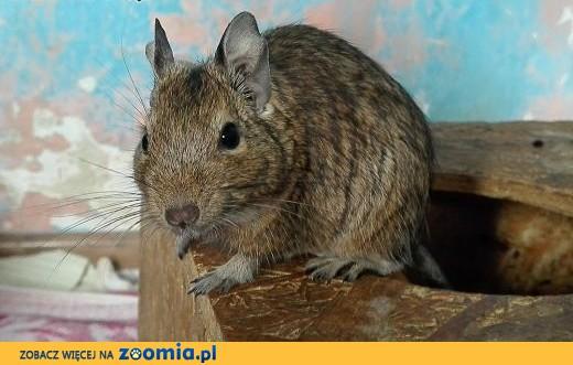 9 samic koszatniczek szuka nowych domów!,  dolnośląskie Wrocław