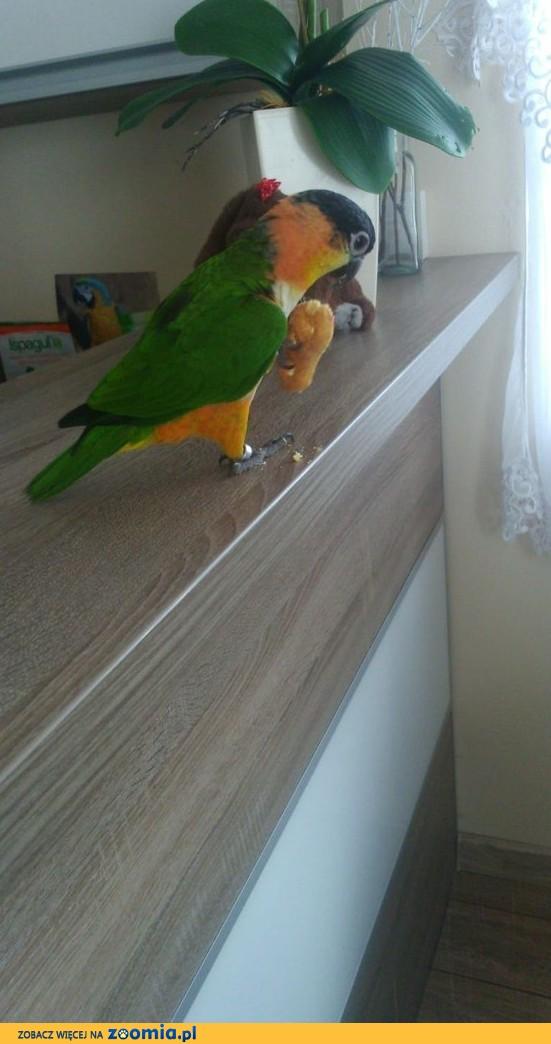 Papugi recznie karmione