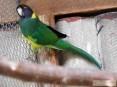Dorosła samica Bernarda czarnogłowego 2009 r