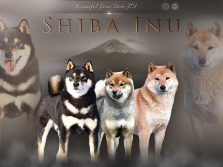 Shiba Inu  Shiba szczenięta ZKwP/ FCI