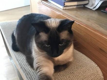 Zaginęła kotka syjamska