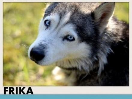 FRIKA husky łagodna wesoła tulaśna rodzinna suczkaADOPCJA   małopolskie Zakopane