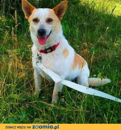 ŚWITEK - śliczny, nieduży 11 kg psiak szuka kochającego domu,  mazowieckie Warszawa