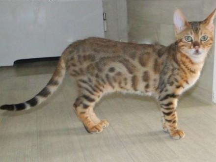 Kot bengalski - mały lart   wielkopolskie Konin