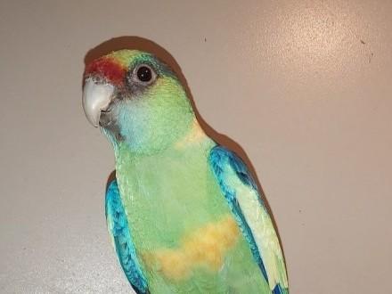 Bernard czerwonoczelny papuga papugi samiec